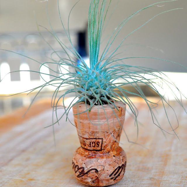 vertical gardener turn a champagne cork into a tiny air plant planter