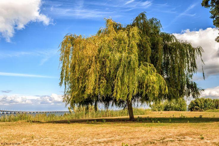 Daytime Willow