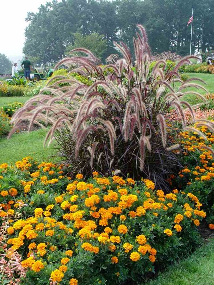 graminée vivace ornementale Pennisetum setaceum rubrum à cultiver en massif, entourée d'oeillets d'Inde