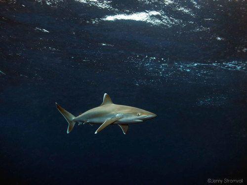 Silvertip shark in Ponta do Ouro Mozambique.
