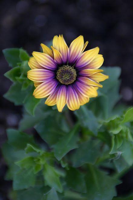 african daisy- gorgeous!