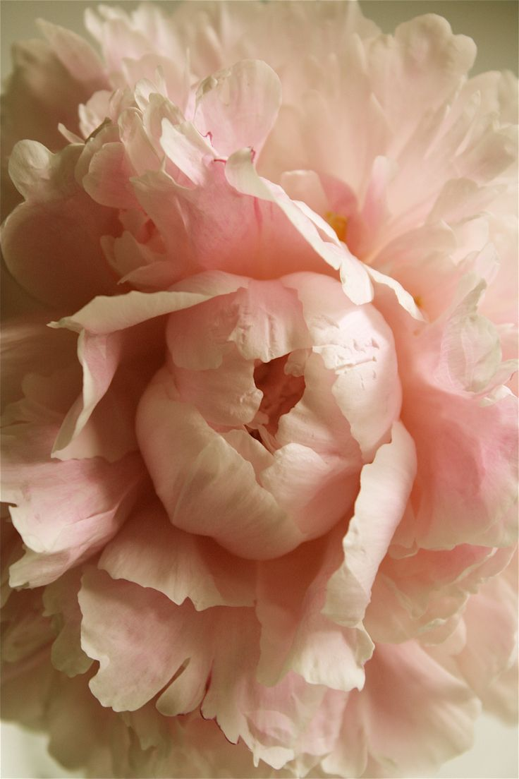 Soft pink peony.                                                                                                                                                                                 More