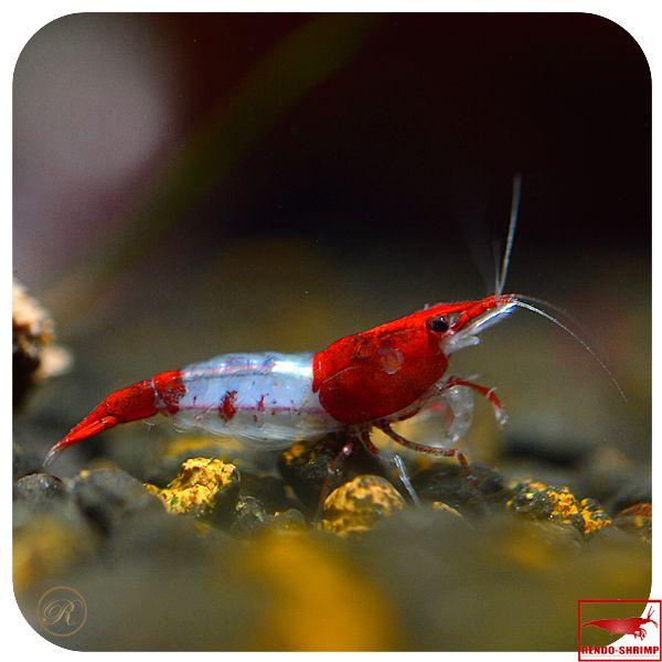 red rili shrimp freshwater inverts pinterest aquariums fish and fish tanks. Black Bedroom Furniture Sets. Home Design Ideas