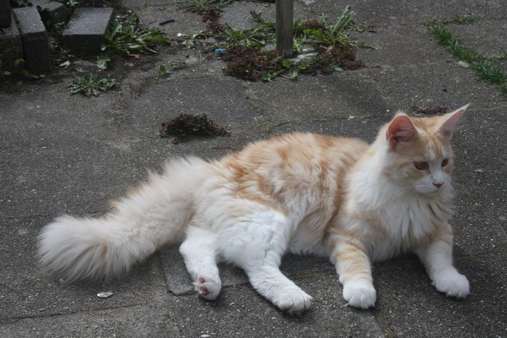 Maine Coon, Red Silver Blotched & White (ds 09 22). Coonini's Size Matters
