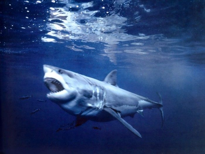 Is It True: Great White Sharks Should Keep Swimming all the time in Order Not to Drown? ... great-white-shark-guadalupe-island-mexico └▶ └▶ http://www.pouted.com/?p=31178