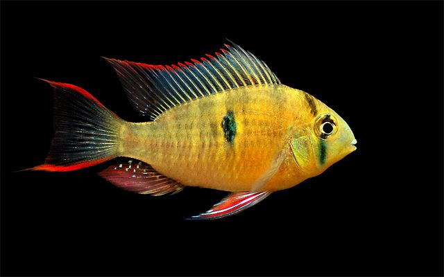 Bolivian butterfly-cichlid maybe a ram