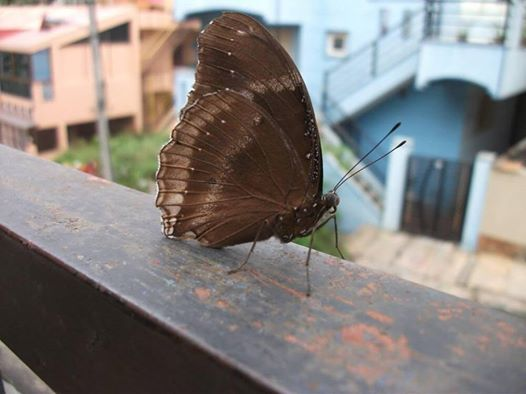 Photographed on my verandah. The butterfly ignored me totally. And I thought this was also a fitting image to encourage harmony between nature and homo sapiens. In continuing response to Lesley C Weston's challenge to post pix celebrating Nature.