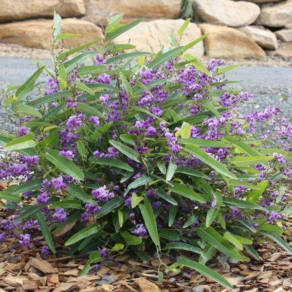 Hardenbergia Violacea-Meema. Tidy small groundcover with shrubby habit. 30-45cm tall x 1.5m. Can be trained to grow on a trellis reaching up to 2m.