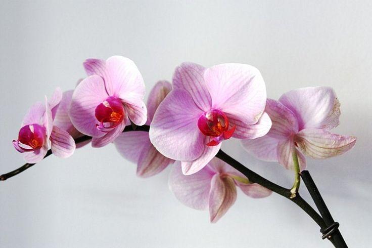 Cómo regar las orquídeas para que luzcan hermosas