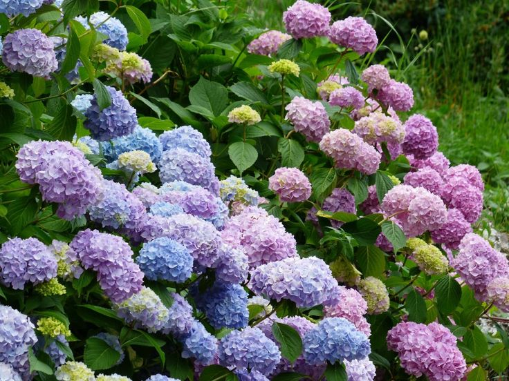 tried and true the best way to plant hydrangeas