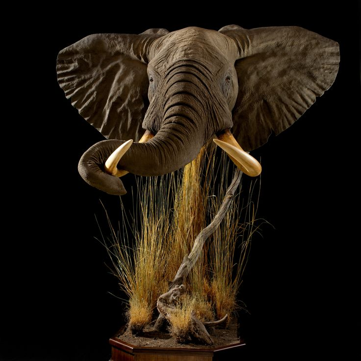 Africa Map Horn Of Africa%0A Beautiful Elephant Mount by Animal Artistry  AnimalArtistryReno  Elephant   Animals  ExoticAnimals  African