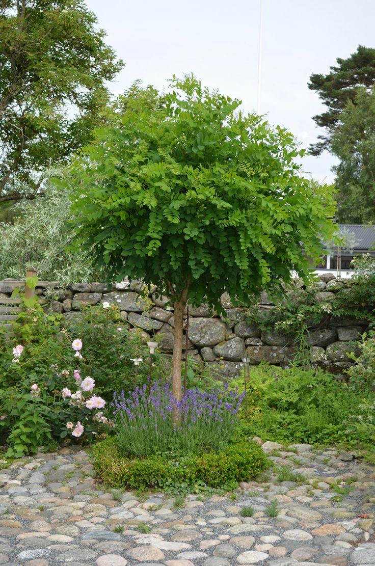 Trädgård, klotrobinia, lavendel, sten