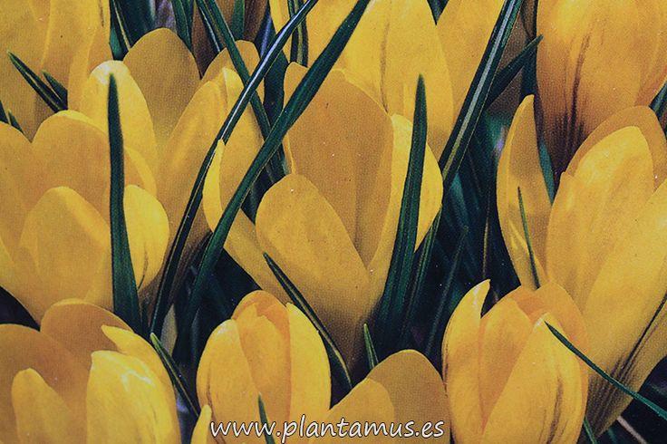 Bulbos de crocus amarillos