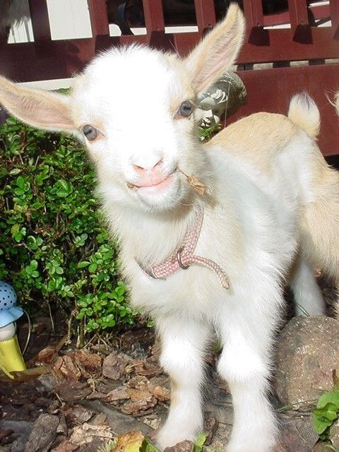 Baby Goat -goats have such unusual eyes! The irises are long, rectangular and horizontal.