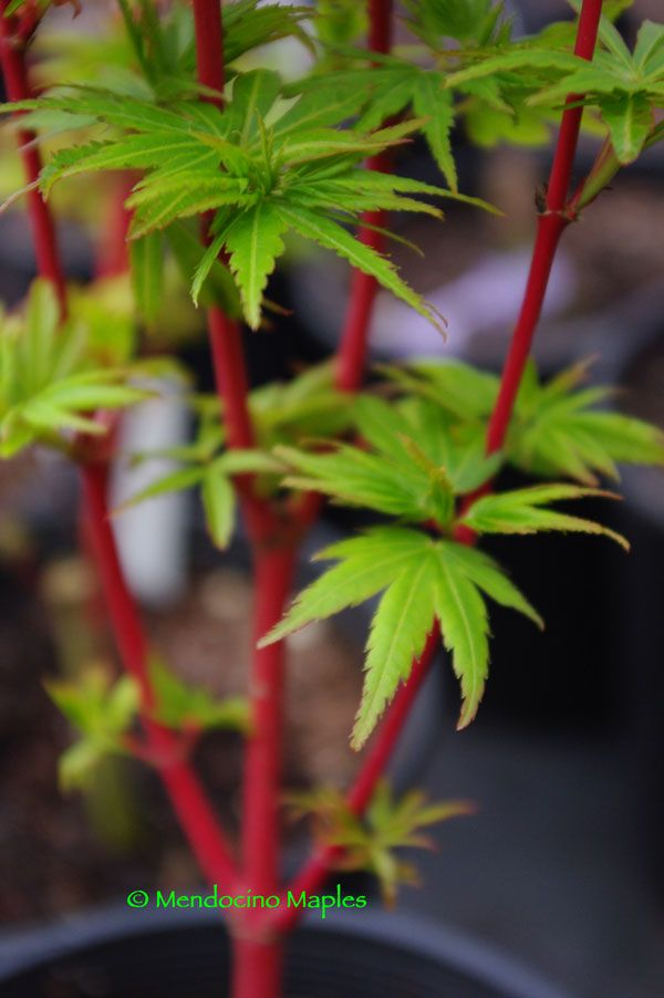 """Dwarf Japanese maples are slow growing or compact trees which mature at about six to eight feet depending on the cultivar. In general, dwarfs have small leaves, short internodes and profuse branching. Dwarf maples are often used for bonsai and rock gardens and they are great for containers."" This one is called ""Fjellheim"" To see a bunch more, follow this link (http://www.mendocinomaples.com/index.php?crn=211)"