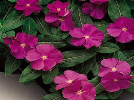 Bulk Vinca Seeds 500 Bulk Seeds Vinca Sunsplash Raspberry Bunga Tanaman Tanaman Pot