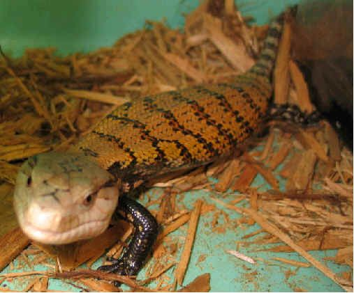 36 Best My Blue Tongue Skinks Images On Pinterest Amphibians Combat Boots And Reptiles