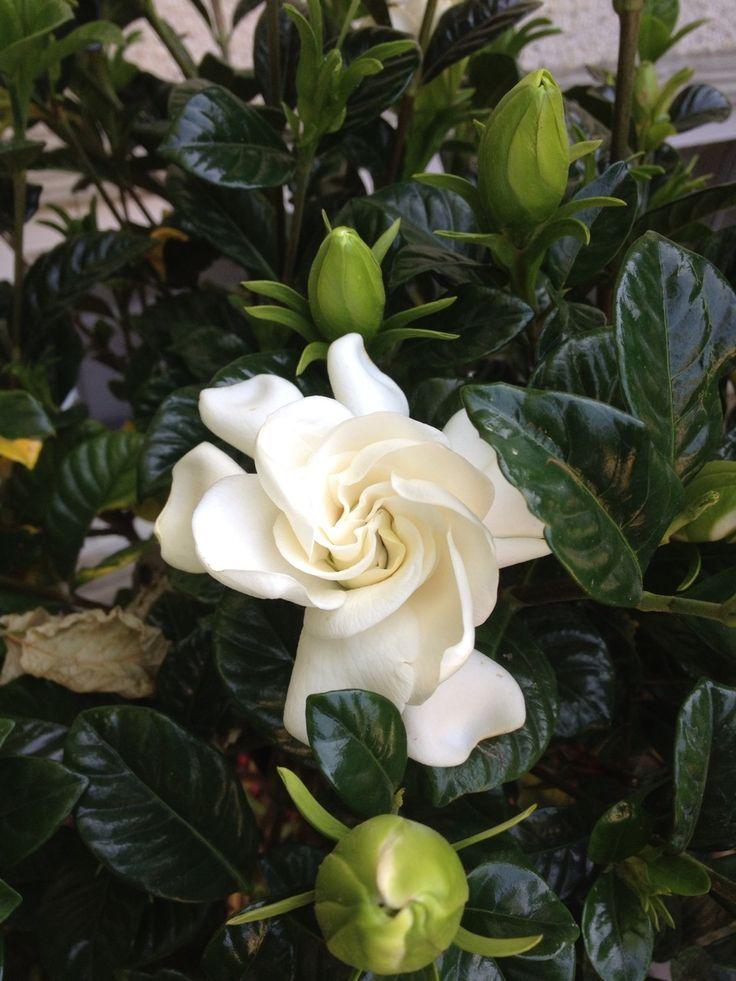 Gardenias Tumblr