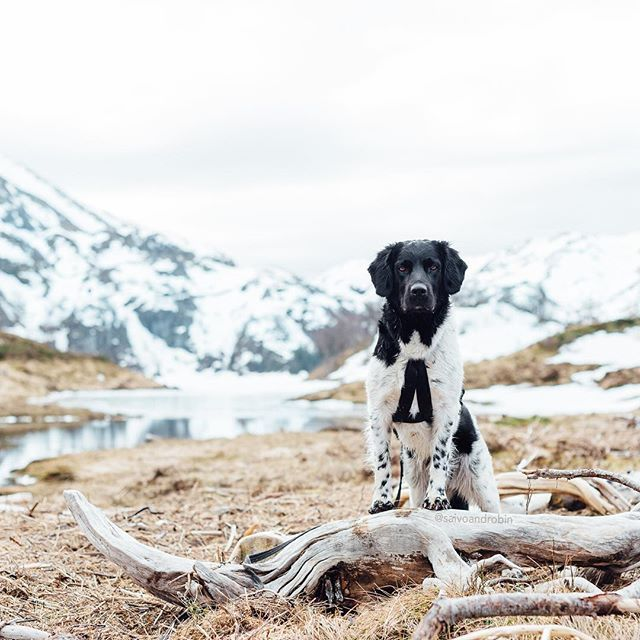 """My stabijhoun Robin is enjoying spring in the Norwegian mountains,"" writes @saivoandrobin. #dogsofinstagram #love #cute #cat #tagsforlikes"