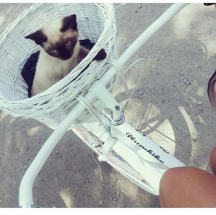 Buenos días ❤ Bicicleta disponible en nuestra tienda online www.favoritebike.com #bicicleta #favoritebike #sweetie #cat #loveanimals #love #plumbike #spring #sun #amor #gatito #animales #cute #bicycle #ontheroad #mibici #whitebike Repost@bartoszewska #picoftheday #instabike #fashion #lovely