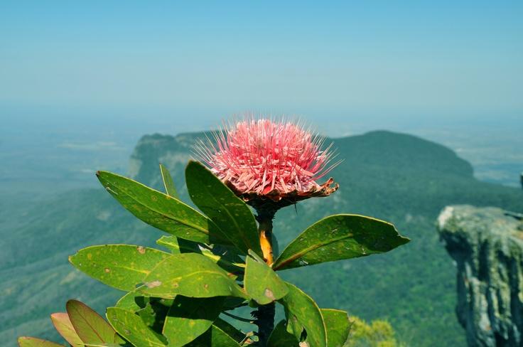 A Protea flower on the top of Mariepskop mountain near Hoedspruit, Limpopo, South Africa.