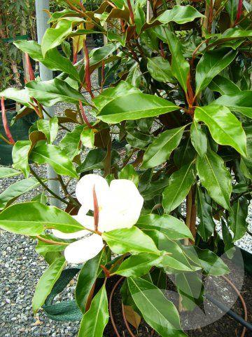 Speciality Trees Magnolia Grandiflora Kay Parris 4x3m