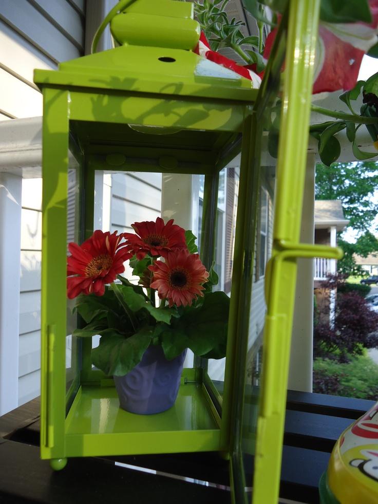 Green lantern gerber daisies