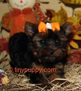 black and tan teacup yorkie, little yorkie, teacup yorkie, teacup Yorkie Puppy, teacup yorkies for sale, tiny puppy, tiny yorkie, Yorshire terrier Boy