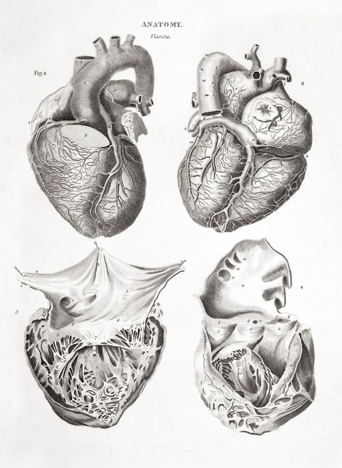 Human heart: four figures. Engraving by Thomas Milton, 1814   From: 'Human and animal anatomy: album containing a collection of engravings'