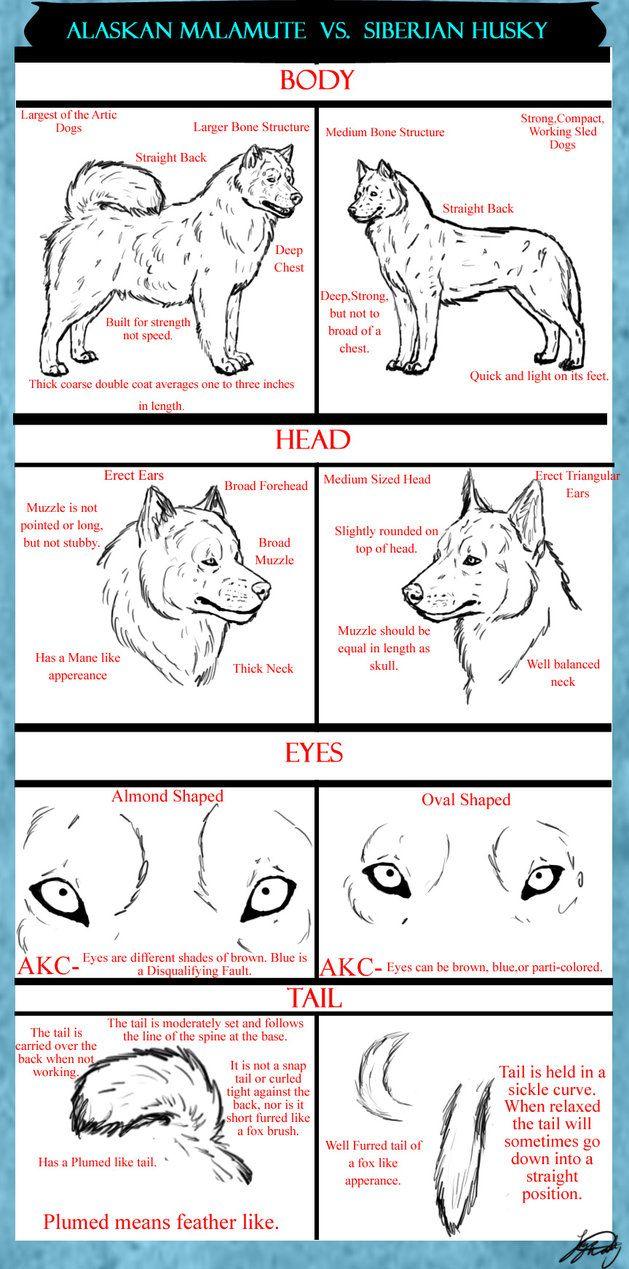 Alaskan Malamute vs. Siberian Husky; people always ask me this so here ya go!