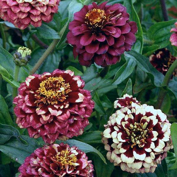 Zinnia Haageana U0027Aztec Burgundy Bicolouru0027. Flower ContainersAnnual  FlowersFlower FarmGarden ...