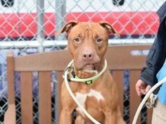SAFE❤️❤️ 12/16/16 BY LOOKING GLASS ANIMAL RESCUE❤️ THANK YOU❤️ RED - A1098885 - - Brooklyn Please Share:TO BE DESTROYED 12/16/16 A volunteer writes: Red! What an absolute beauty! And he really does have a deep, soft reddish coat that you just can't help but admire. Red is very quiet in his cage and seems a bit shy– probably not loving all the noise in the shelter– until I get him out to go for a walk. As soon as he's got his leash on, Red brightens up and starts wagging his tail. Red is…