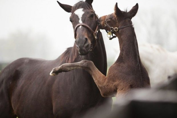 Kisses for mom: Cute Animal Hors, A Kiss, Hors Racing, Mothers Day, Living Legends, Awesome Hors, Favorite Moments, Kiss Mama, Thoroughbred Out