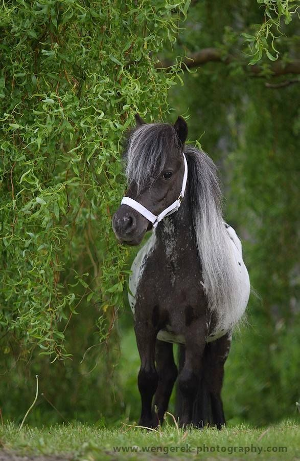 CUTE Minnie THE MINIATURE HORSE MAKES A GREAT PET. http://www.bubblews.com/news/703482-the-miniature-horse-makes-a-great-pet