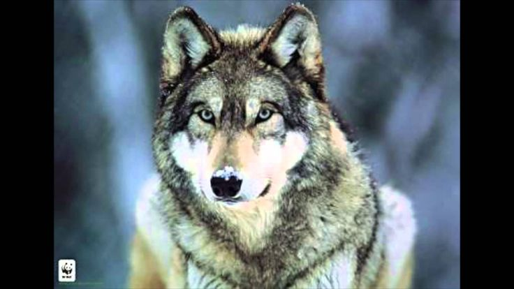 Hurlement d'un LOUP Le cri du LOUP WOLF howling  Ululato del lupo Wolf howl-->>(https://youtu.be/TlFTee_L5e4