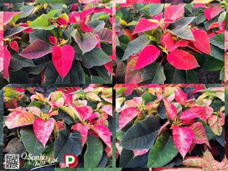 Poinsettia   Euphorbia   Flor-do-Natal   Estrela-do-Natal 🌟🎅🎄🌠