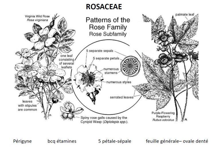 Les Rosaceae sont une famille botanique qui réunit environ 3 370 espèces réparties en plus d'une centaine de genres. Cette famille cosmopolite comprend aussi bien des plantes herbacées vivaces que des arbustes ou des arbres.  Rang : Famille Classification : Rosales Sous-ordres : Dasiphora, Rubus, Cercocarpus, Dryas, Sorbaria