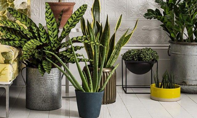 8 лучших комнатных растений-фильтров. Какие растения лучше очищают воздух? Список, фото - Ботаничка.ru - Страница 10