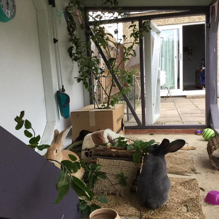 Inside those outdoor homes these rabbits have every need catered for including apple branches to nibble on #ahutchisnotenough Photo courtesy of Louise Sloat