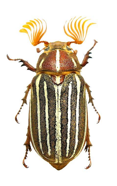 "Polyphylla decemlineata - June ""bug"" - MELOLONTHINAE - leaf chafer"
