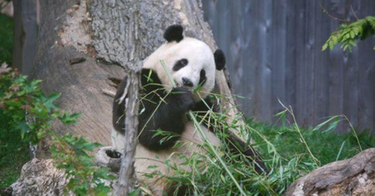 Ciclo de vida de los osos Panda gigantes. Los científicos una vez creyeron que el oso panda gigante era una especie de mapache, pero los exámenes genéticos en 1995 confirmaron que los pandas en realidad son osos, aunque tienen una adaptación inusual que no se ve en otras especies de oso, un sexto dedo en sus patas frontales que los ayuda a tomar la comida. Otra característica inusual es ...