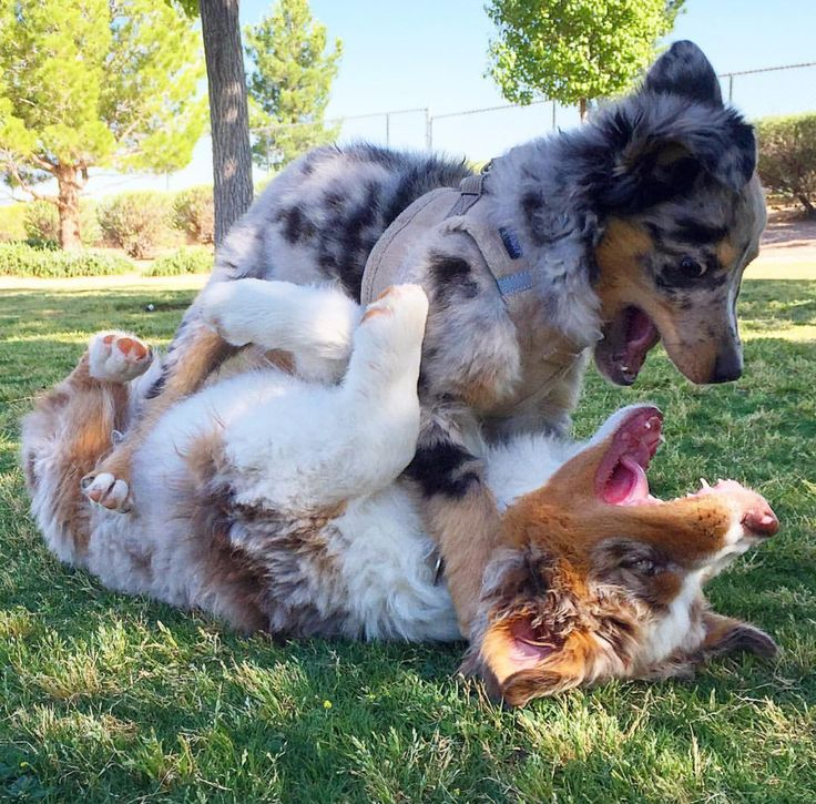 Aww! These Aussie pups sure seem to be having a blast wrestling in the yard.