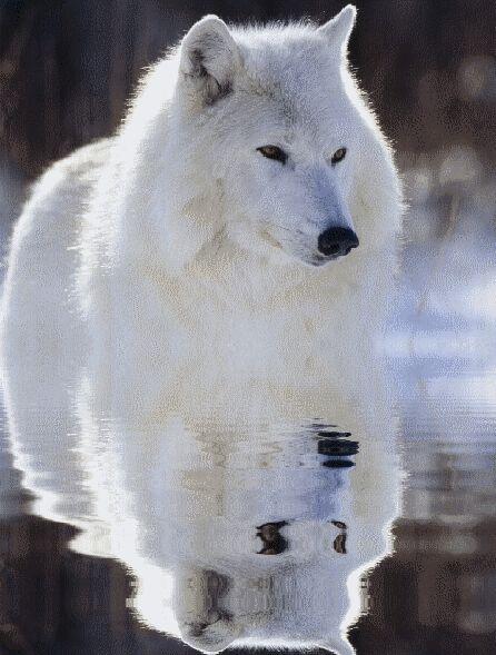 Favorit Les 25 meilleures idées de la catégorie Chiens loups sur Pinterest  IU37