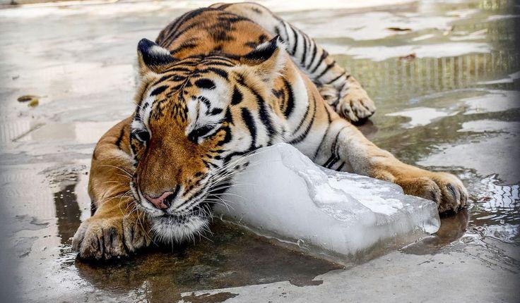 2015 -- Tiikeri vilvoitteli Karachin eläintarhassa Pakistanissa 24. kesäkuuta. Kuun lopussa maata koetelleen helleaallon vuoksi sairaaloissa hoidettiin noin 4 000 ihmistä.