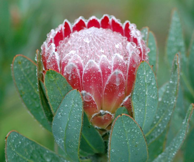 26 best flowers pink mink protea images on pinterest rare flowers pink mink protea flower protea pink frost mightylinksfo