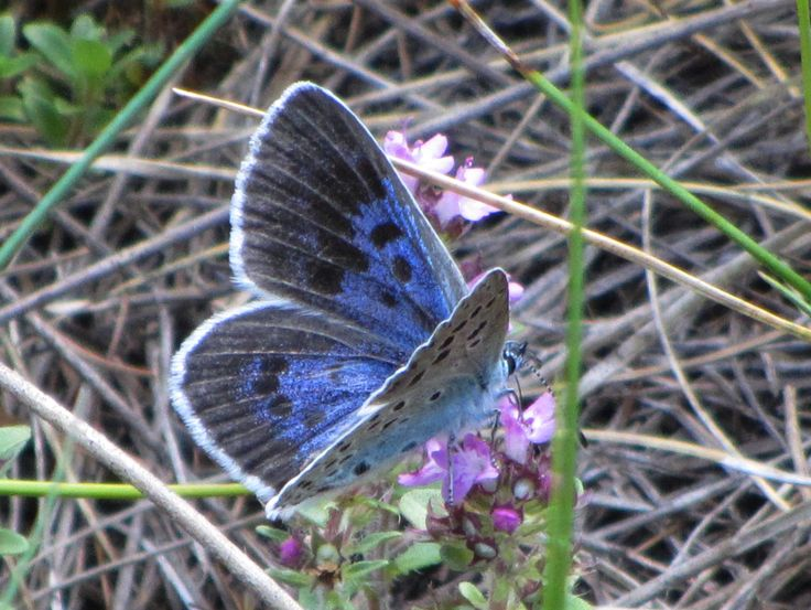 Large Blue 1, Vispa Valley, VS, 06.07.17