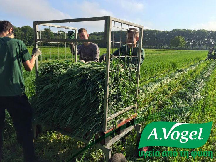 Ξεκίνησε η συγκομιδή βρώμης στα αγροκτήματα της A.Vogel στην Ελβετία.  Η βρώμη καταπολεμά τη χρόνια φλεγμονή, η οποία μπορεί να οδηγήσει σε αρτηριακή νόσο, όπως η αθηροσκλήρωση, καθώς επίσης και πολλά άλλα προβλήματα υγείας.Στην παραδοσιακή βοτανοθεραπεία, η βρώμη χρησιμοποιούνταν για την αντιμετώπιση της νευρικής εξάντλησης, αϋπνίας και «νευρικής αδυναμίας».