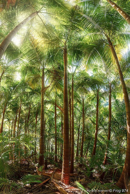foret palmistes