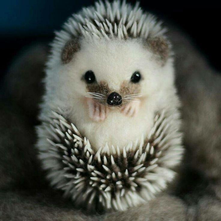 Curled Hedgehog