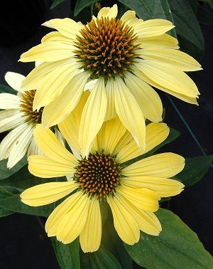 63 Best Images About Echinacea On Pinterest Gardens